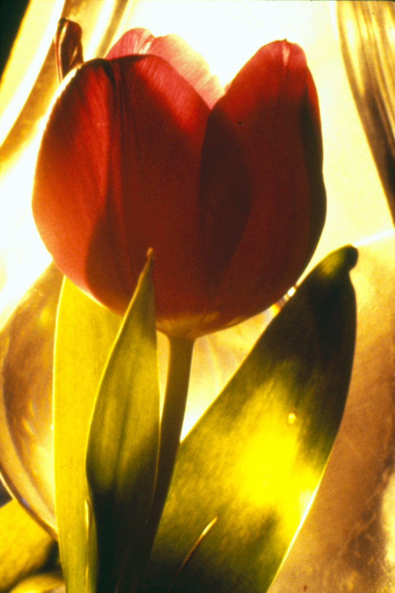 Night Tulip